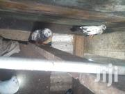 Pigeons For Sale | Birds for sale in Mombasa, Majengo