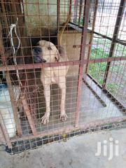 Adult Male Purebred Boerboel | Dogs & Puppies for sale in Mombasa, Bamburi