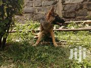Young Female Purebred German Shepherd | Dogs & Puppies for sale in Kajiado, Ongata Rongai